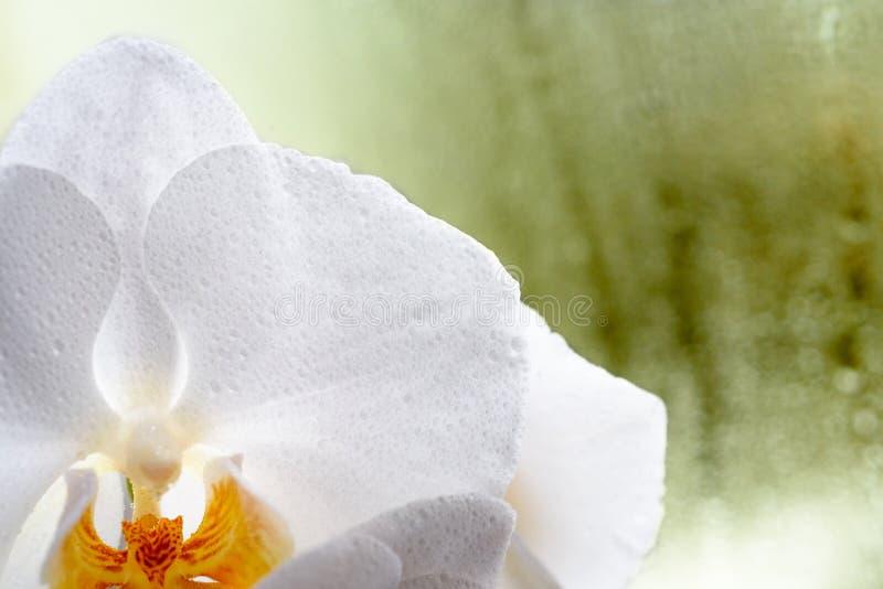 Weiße Orchidee auf einem grünen Hintergrund an einem regnerischen Fensterabschluß oben stockfotos