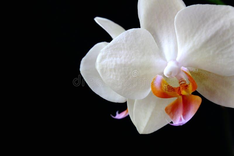 Weiße Orchidee auf einem schwarzen Hintergrund Das linke Teil ist für Aufschrift passend lizenzfreie stockfotos