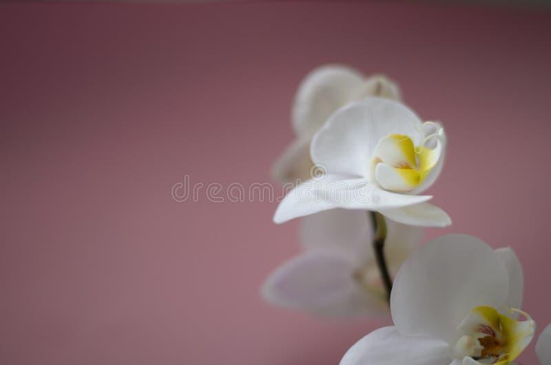 Weiße Orchidee auf rosafarbenem Hintergrund lizenzfreies stockbild