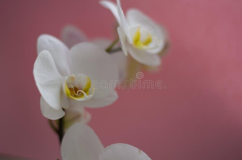Weiße Orchidee auf rosafarbenem Hintergrund stockbild