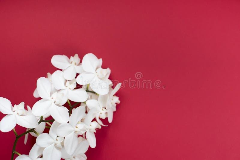 Weiße Orchidee auf rotem Hintergrund stockbilder