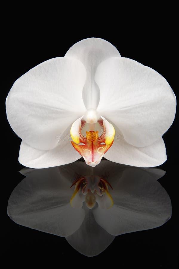Weiße Orchidee auf Schwarzem stockfoto