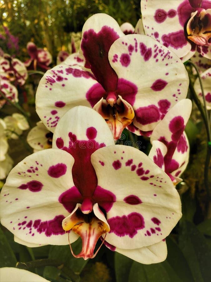 Weiße Orchidee der schönen purpurroten Mischung in den Gärten Hintergrund-Orchidee stockbilder
