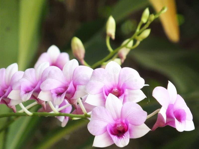 Weiße Orchidee des Hintergrundes gemischt mit purpurroten Blumen lizenzfreie stockbilder