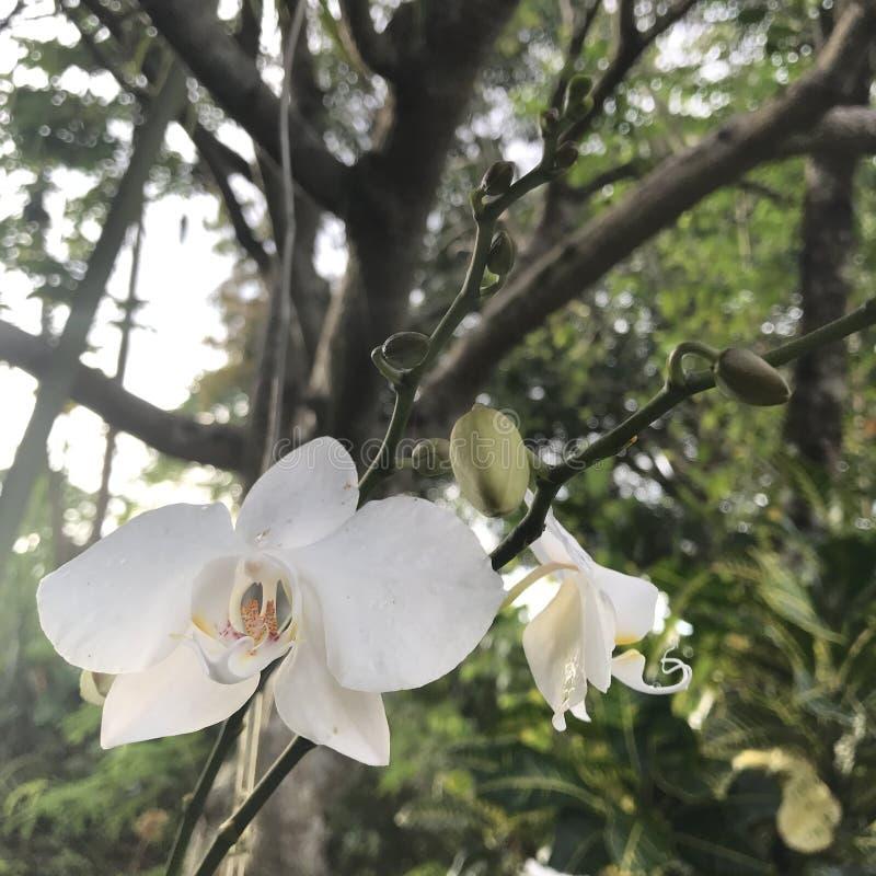 weiße Orchidee des Phalaenopsis mit der gelben Lippe stockfotos