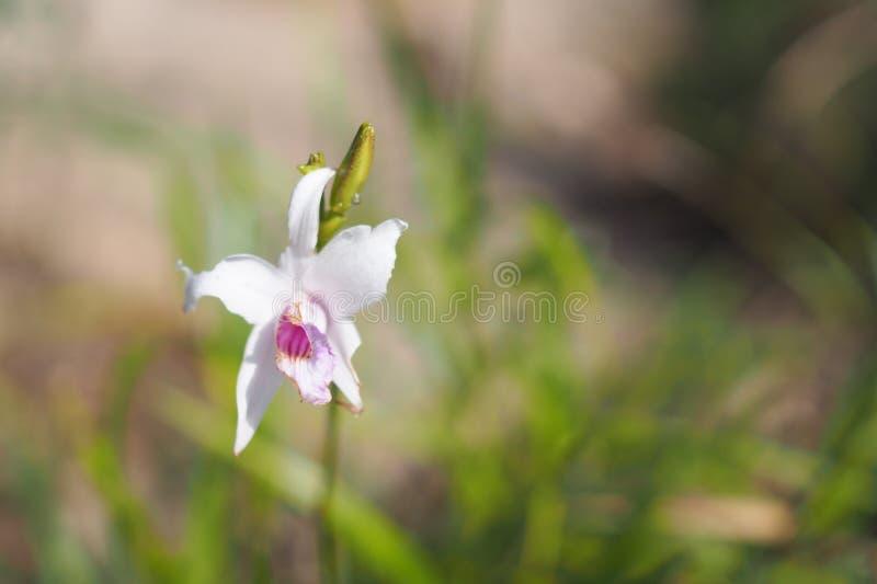 Weiße Orchidee im Yard lizenzfreie stockbilder
