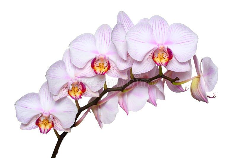 Weiße Orchidee mit rosa Adern Getrennt auf weißem Hintergrund lizenzfreie stockfotos