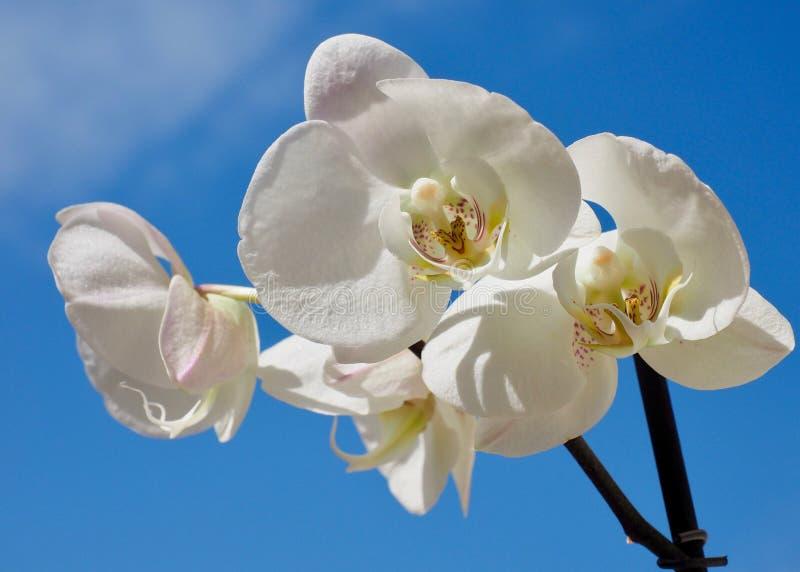 Weiße Orchideeblumen lizenzfreie stockbilder
