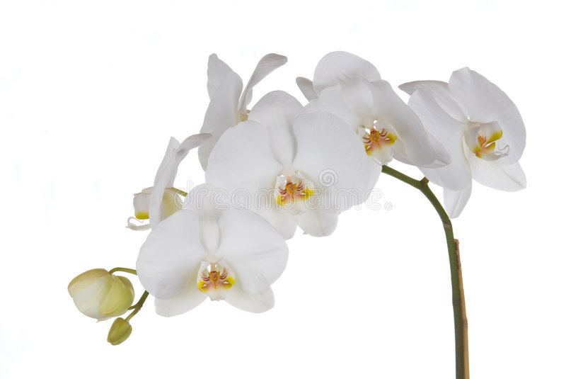 Weiße Orchideen stockfoto