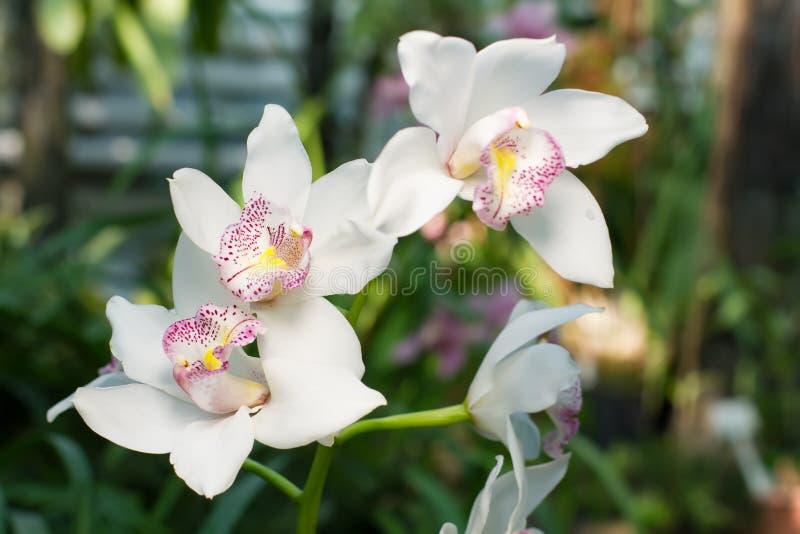 Weiße Orchideen des Schnees mit rosa Höhepunkten stockfotos