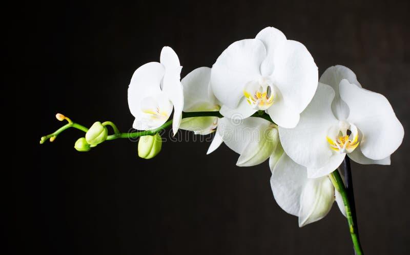 Weiße Orchideen gegen dunklen Hintergrund lizenzfreies stockfoto