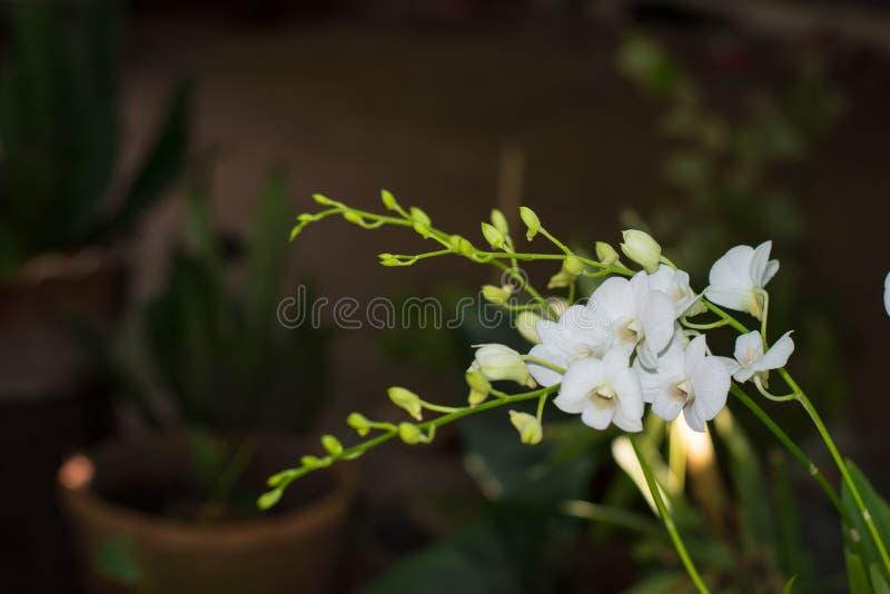 Weiße Orchideen im Garten stockbilder
