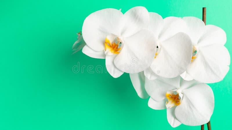 Weiße Orchideenblume auf einem tadellosen Hintergrund lizenzfreie stockbilder