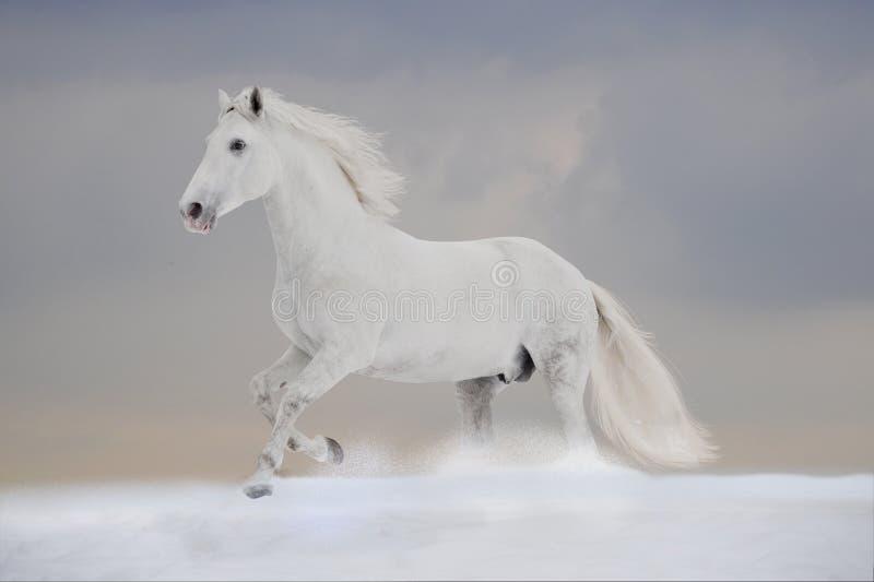 Weiße P.R.E. Stallionlack-läufer geben im Winter frei lizenzfreie stockbilder