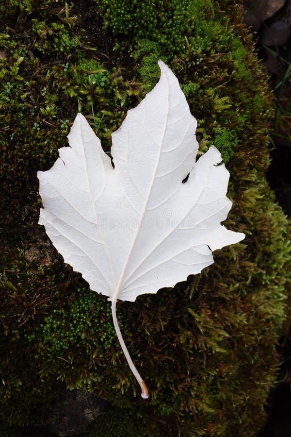 Weiße Pappel-Blatt auf Moos stockfotografie
