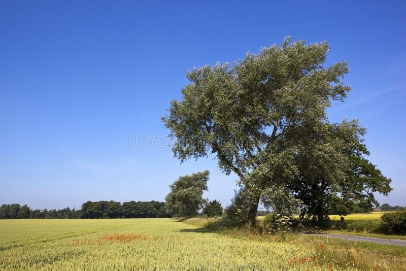 Weiße Pappel und Weizen lizenzfreie stockfotografie