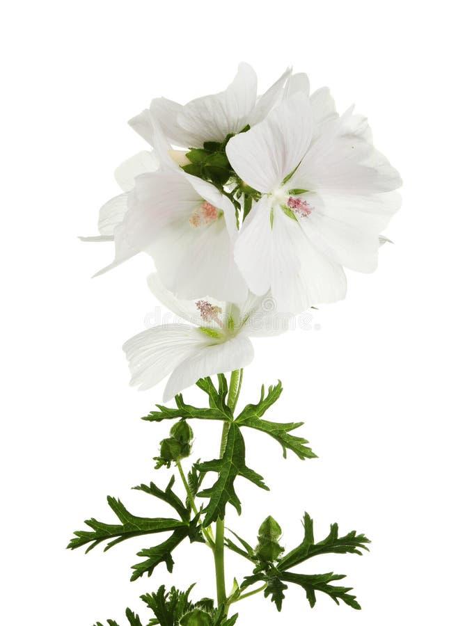 Weiße Pelargonie lizenzfreie stockbilder