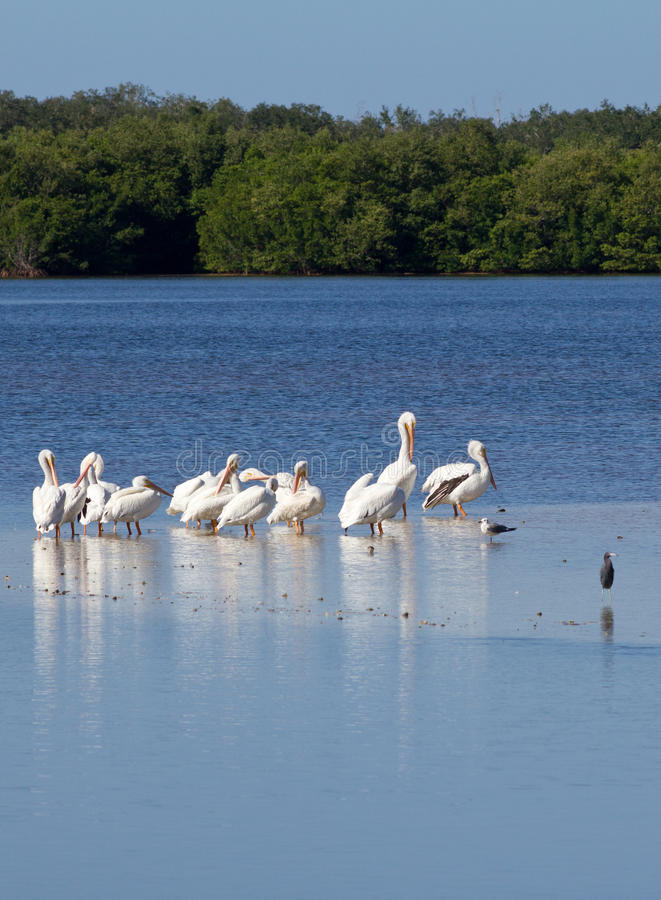 Weiße Pelikane stockbilder