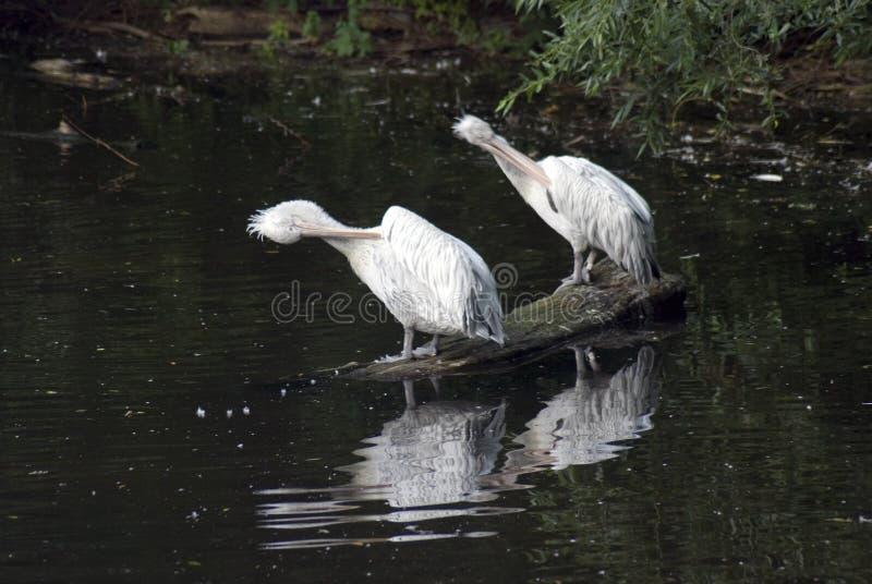 Weiße Pelikane durch Wasser stockbild