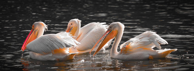 Weiße Pelikane im Wasser stockbilder
