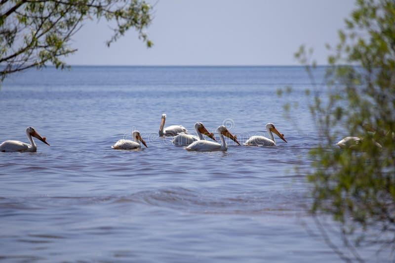 Weiße Pelikane Pelecanus erythrorhynchos auf dem Wasser stockfotografie