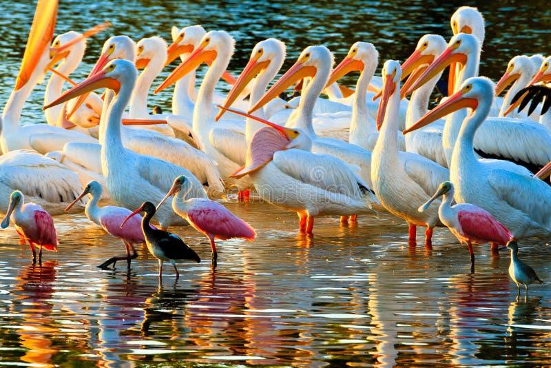 Weiße Pelikane und Spoonbills lizenzfreie stockfotos