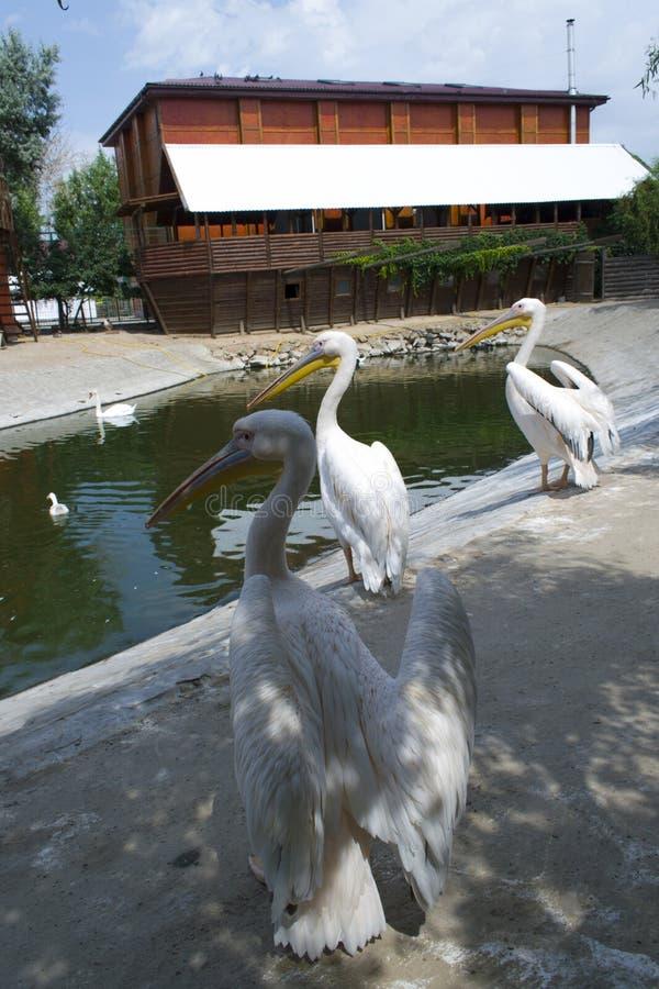 Weiße Pelikane verbreiteten ihre Flügel stockbild