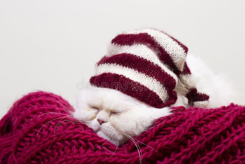 Weiße persische Katze, die an einem Winternachmittag ein Schläfchen hält stockfotografie