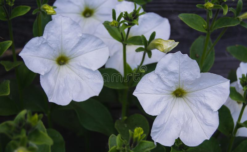 Weiße Petunie auf hölzernem Hintergrund stockfotos