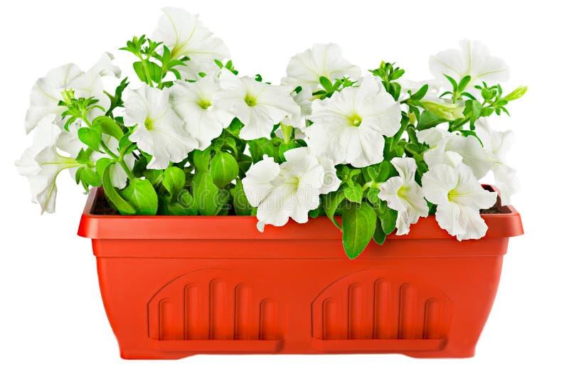 Weiße Petunie im Blumenpotentiometer stockbilder