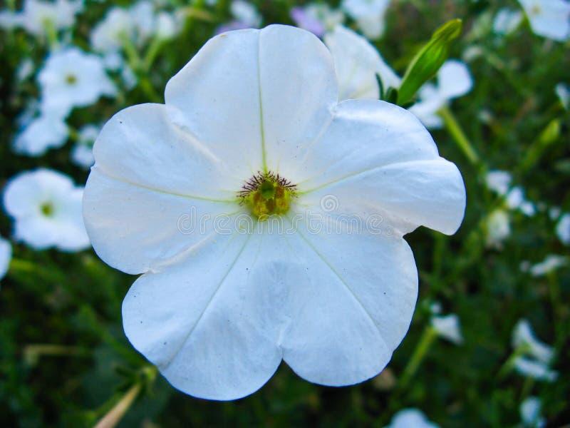 Weiße Petunienblume im Abschluss oben stockbild