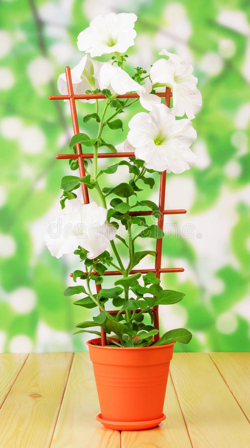 Weiße Petunienblume im Topf stockbilder