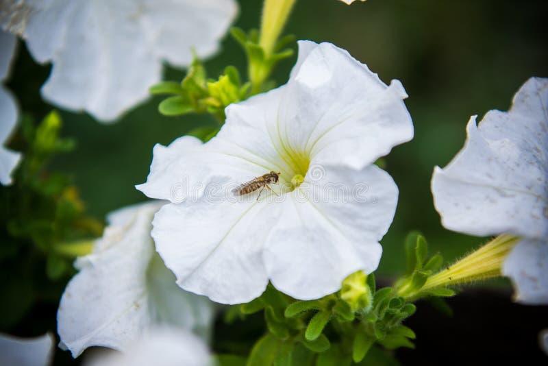 Weiße Petunienblume mit einer kleinen Fliege lizenzfreie stockfotografie