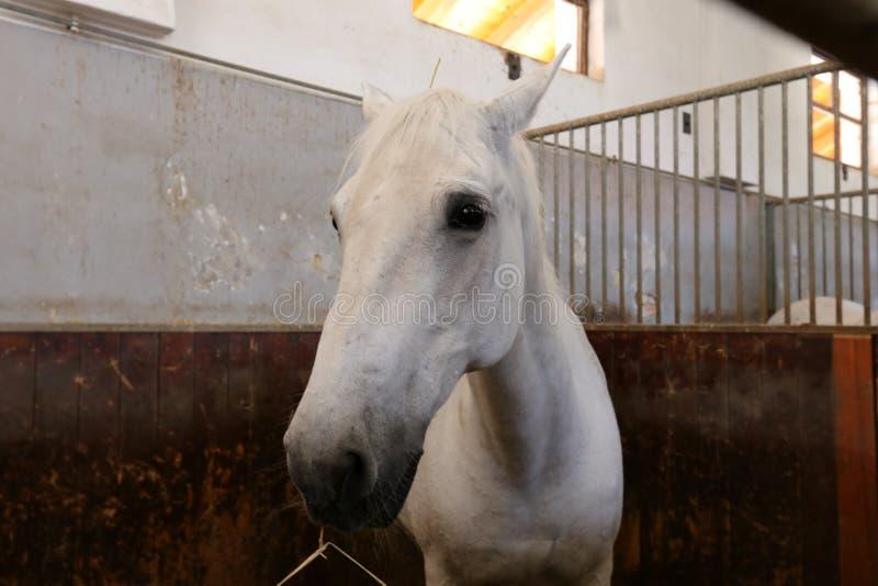 Weiße Pferde lizenzfreies stockbild