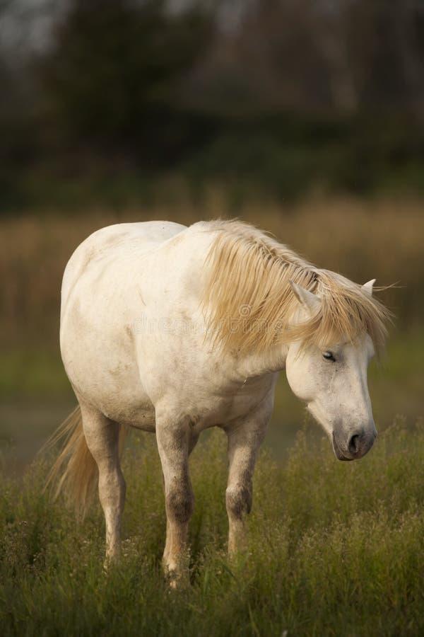 Weiße Pferde von Camargue, Provence, Frankreich lizenzfreie stockbilder