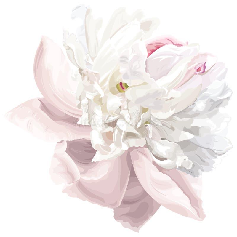Weiße Pfingstroseblume lizenzfreie abbildung