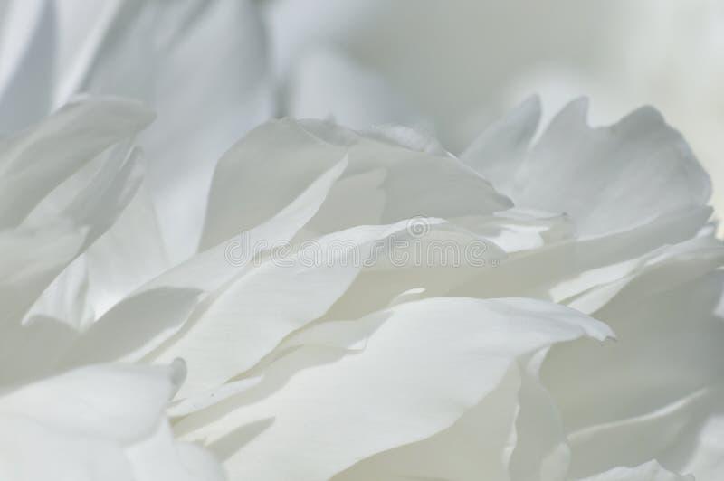 Weiße Pfingstroseblumenblätter lizenzfreies stockbild