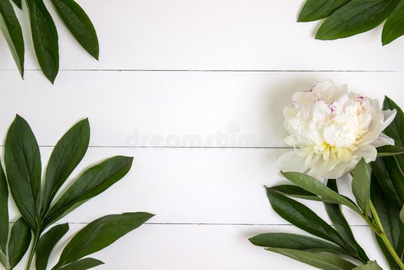 Weiße Pfingstrosenblume und -blätter auf weißem rustikalem hölzernem Hintergrund mit Leerstelle für Text Modell, Draufsicht lizenzfreies stockbild