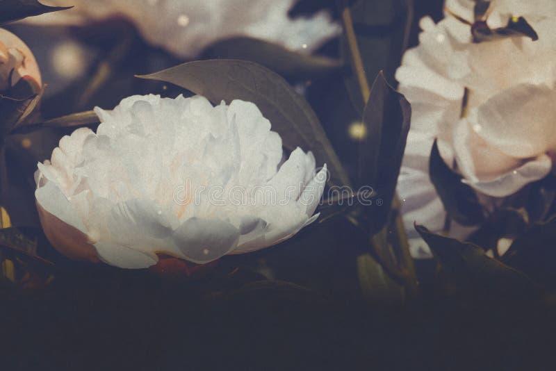 Weiße Pfingstrosenblumen gefiltert vektor abbildung
