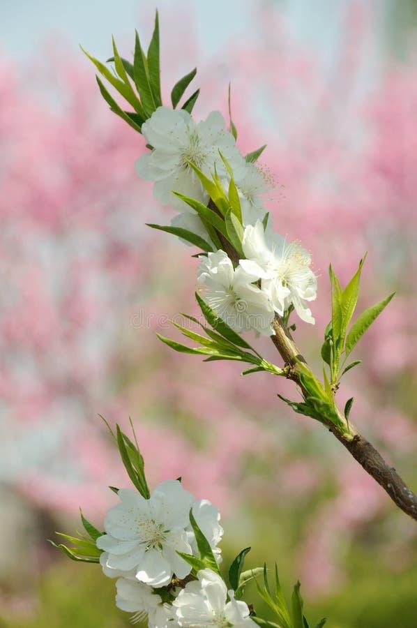 Weiße Pfirsichblüte lizenzfreie stockbilder