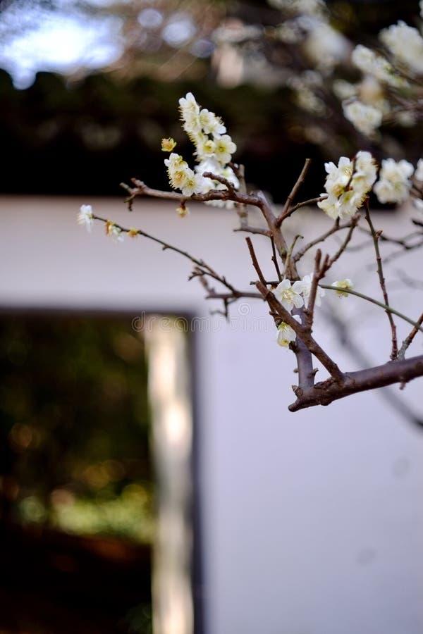 Weiße Pflaumenblüte stockfotos