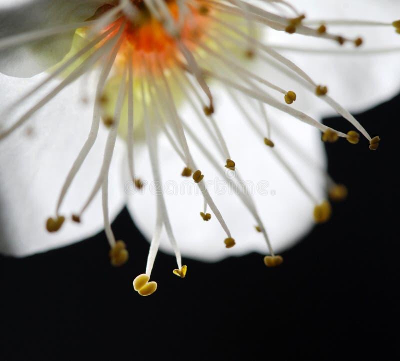 Weiße Pflaumenblume stockbilder