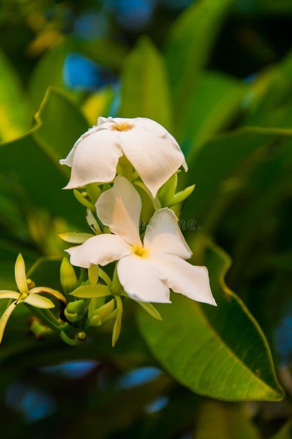 Weiße Plumeria auf dem Baum stockbild