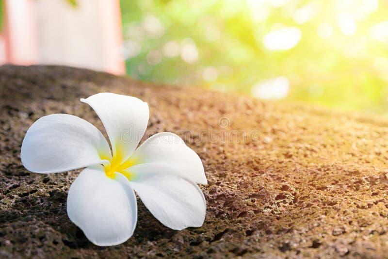 Weiße Plumeriablume auf dem alten Park des Steins öffentlich mit unscharfem Hintergrund stockfotografie