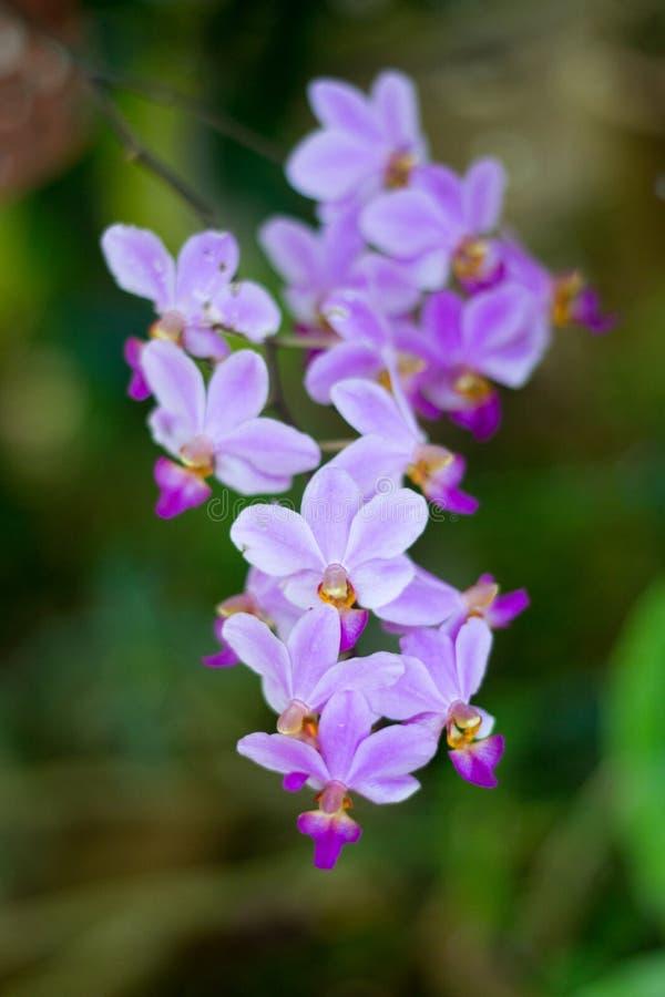 Weiße purpurrote Orchidee stockfotografie
