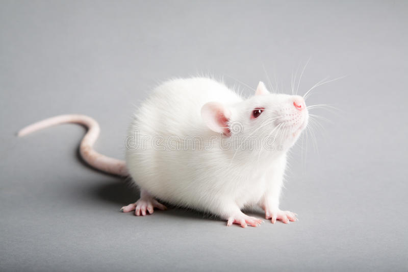 Weiße Ratte lizenzfreie stockfotografie
