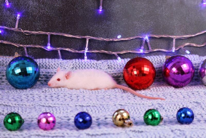 Weiße Ratte mit Weihnachtsdekorationen, Symbol des neuen Jahres 2020 lizenzfreie stockfotos