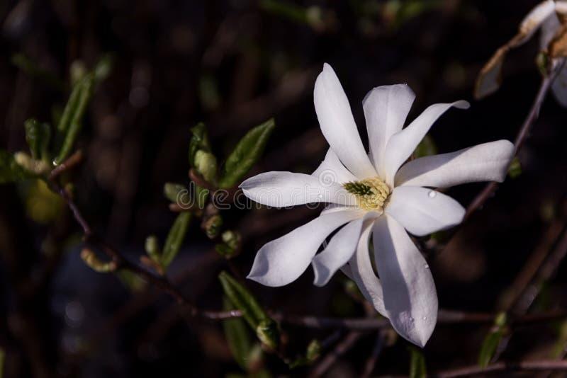Weiße rosa Blumen der Nahaufnahmemagnolie entspringen Hintergrund lizenzfreie stockfotografie
