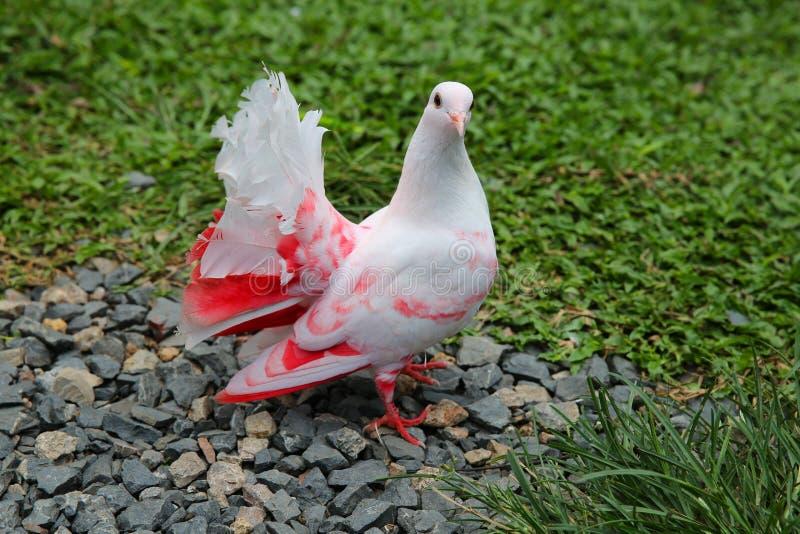 Weiße rosa Taube, die auf grünem Gras sitzt lizenzfreie stockfotografie