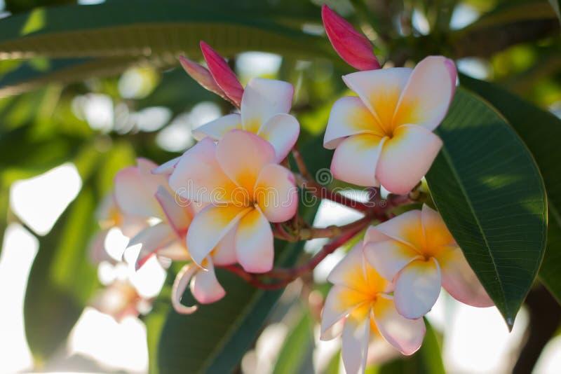 Weiße rosa und gelbe Frangipaniblume stockbild
